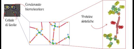 Condensato biomolecolare e proteine sintetiche
